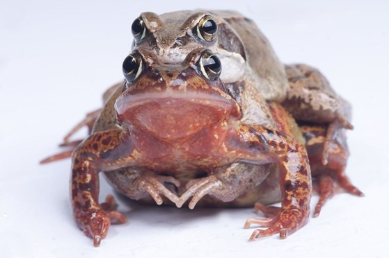 Two frogs mating