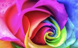 Multicolored rose petals