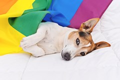 Jack russel terrier dog wrapped in rainbow LGBT flag lying on white bed